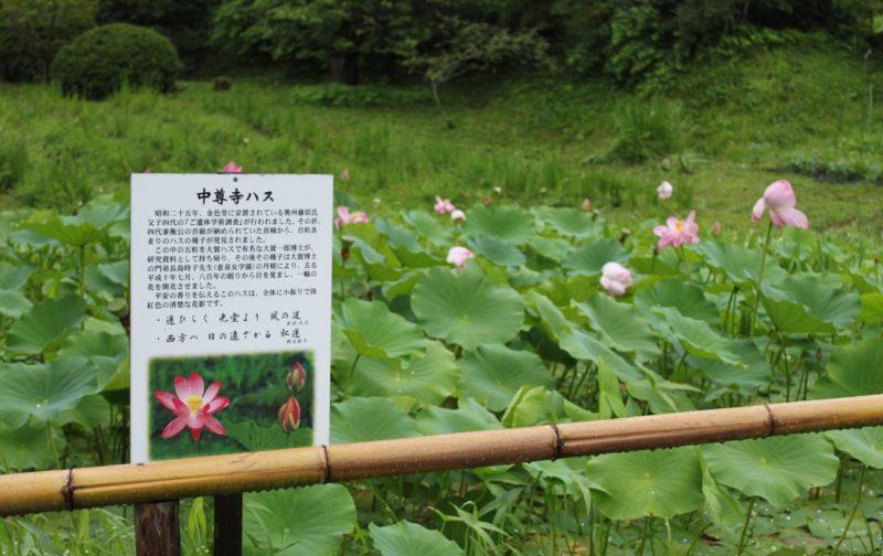 中尊寺のハスの池