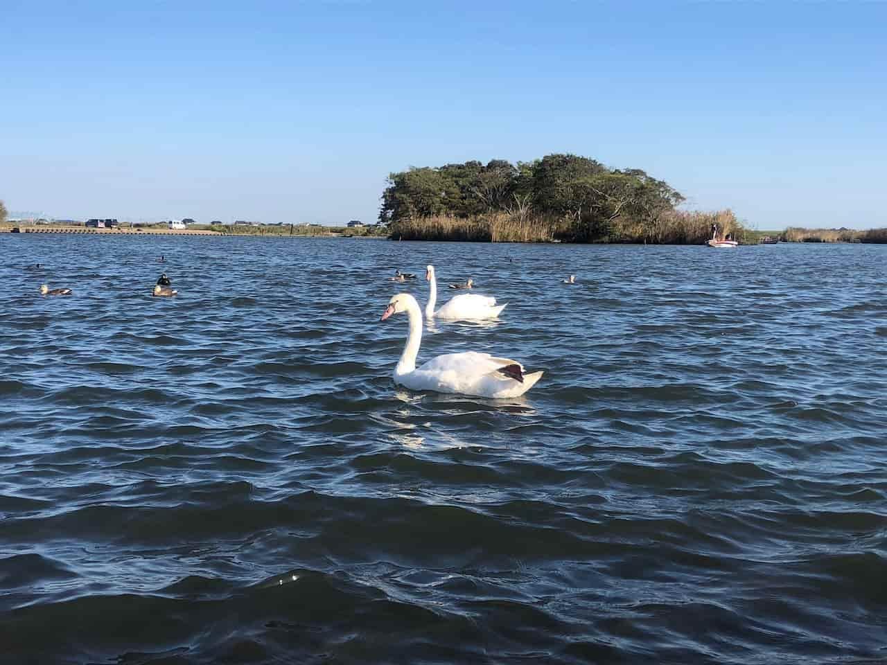 利根川に白鳥が泳ぐ