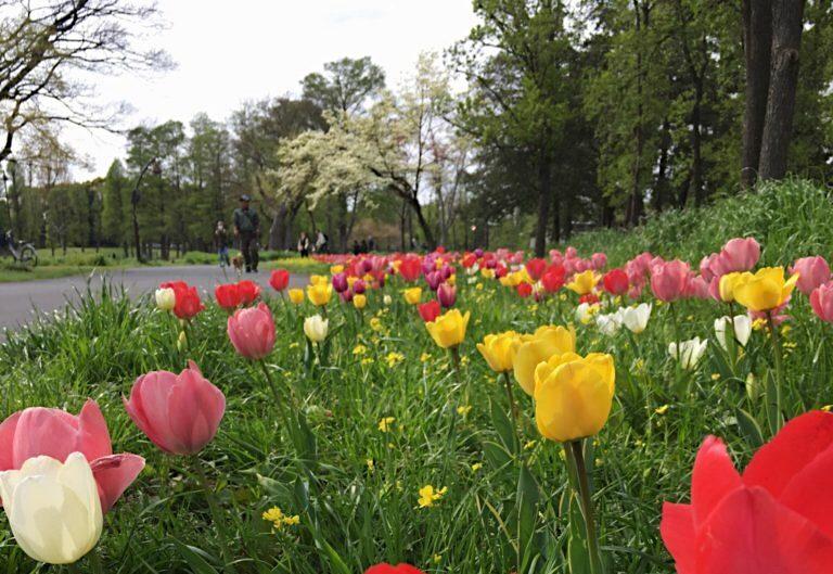 チューリップが咲いている光景