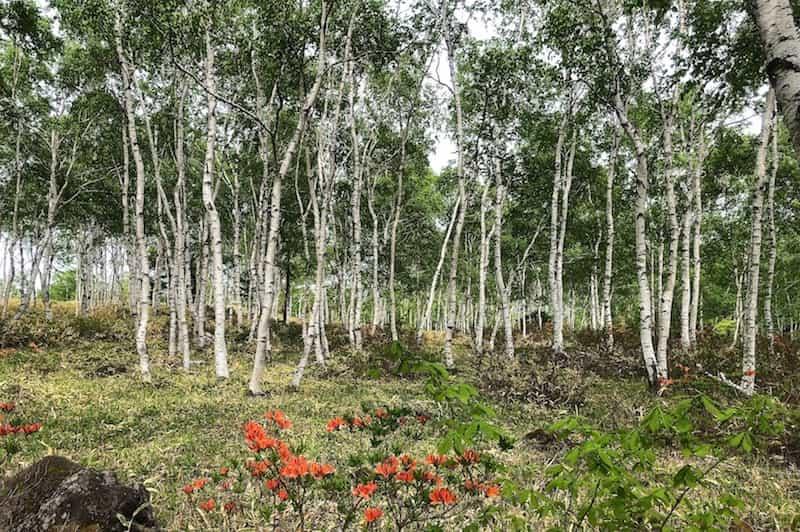 八千穂高原の白樺