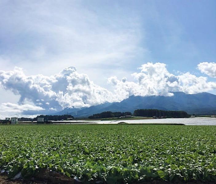 高原のレタス畑