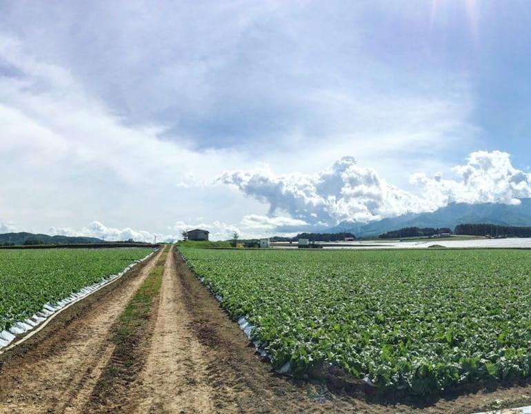 川上村のレタス畑