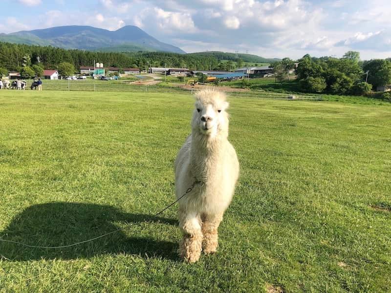 長門牧場のアルパカ