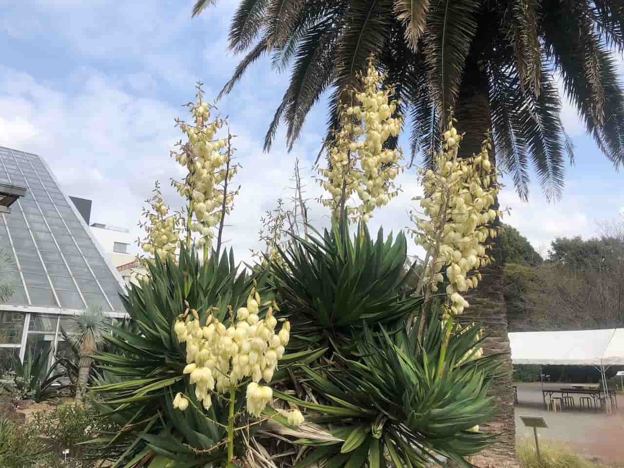 筑波実験植物園のアツバキミガヨラン