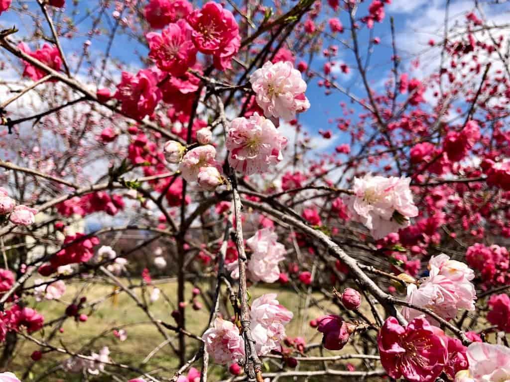 金桜園のピンクの花桃