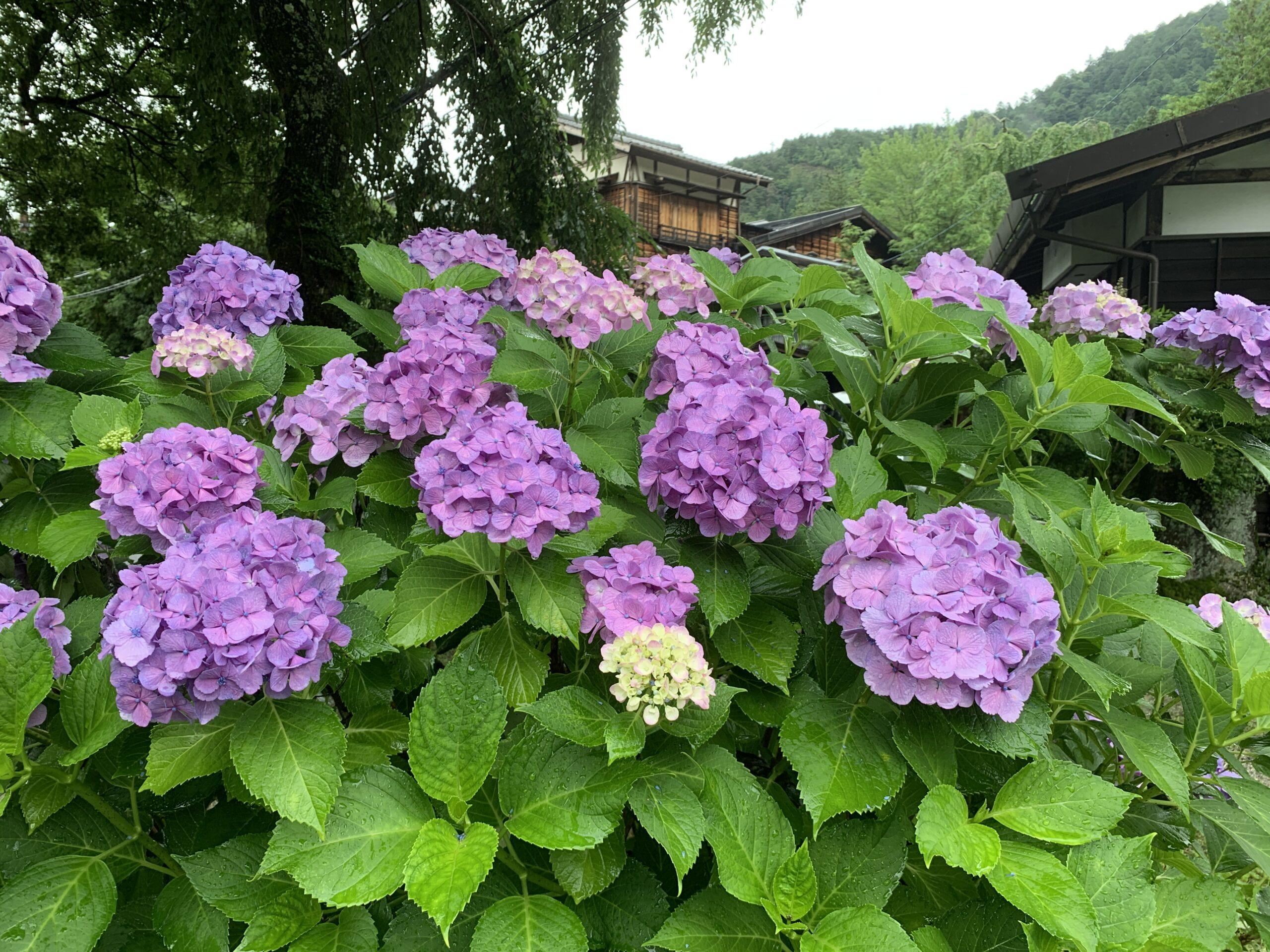 妻籠宿の紫陽花